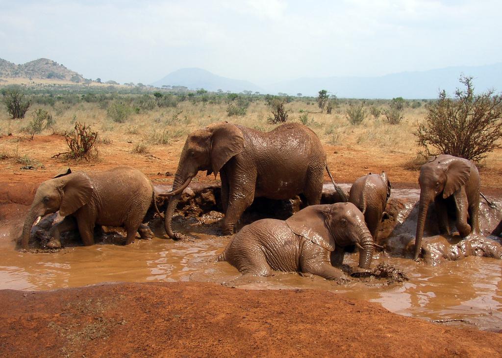 1024px-African_Bush_Elephant_mud_bath