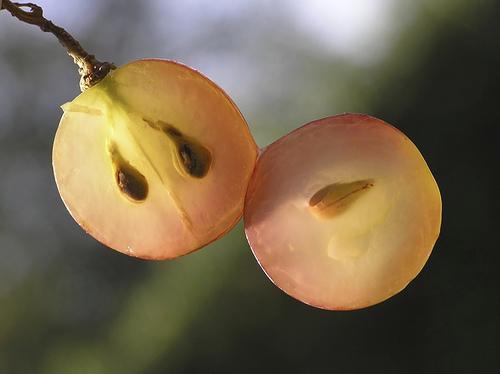 szőlőmag